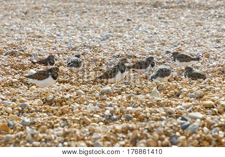 Many cute Semipalmated Sandpiper bird chicks walking on the pebbles on the beach