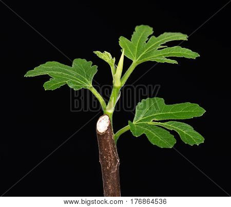 Green fig sprout with young leaves over black background