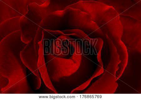 A close up macro shot of a red rose