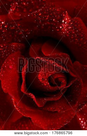 Macro image of dark red rose with water droplets.