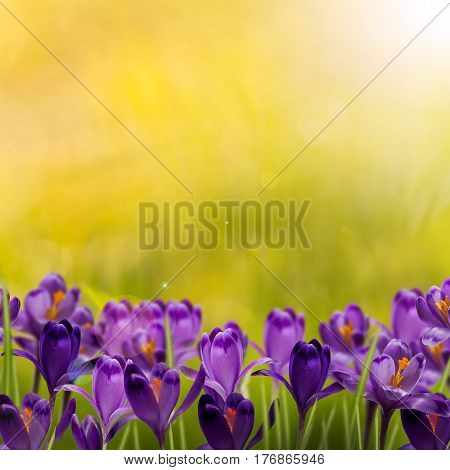 Beautiful background of Crocus Spring Flowers and sunrays