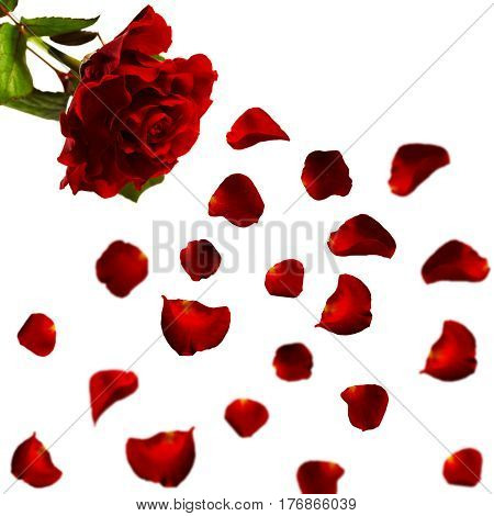 Red roses and rose petals on white background