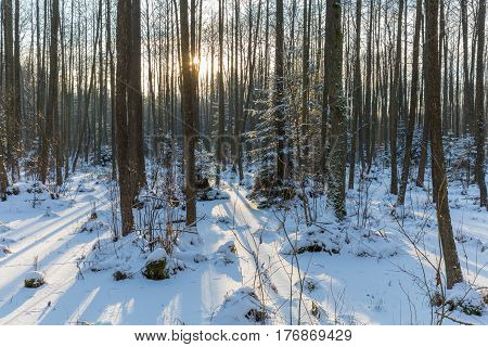 Winter landscape of naturalstand with alder trees and frozen water around, Bialowieza Forest, Poland, Europe