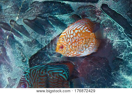 Aquarium fish discus in orange color from Amazon river basin in South America.