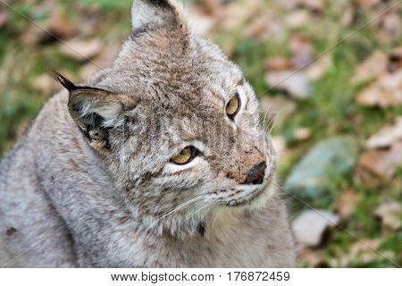 Portrait of a lynx in a wildpark