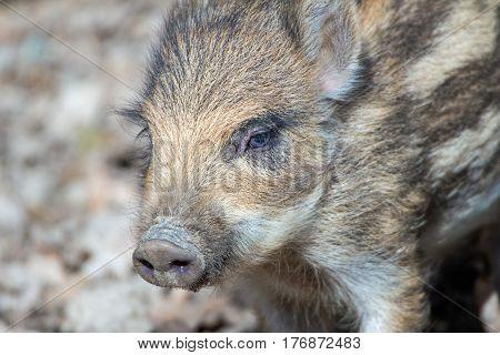 Portrait of a cute little boar piglet