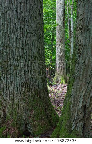 Oak and Hornbeam tree grows side by side and another oak tree visible between them in distance, Bialowieza Forest, Poland, Europe