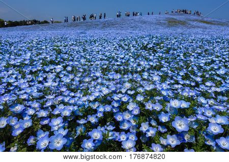 Nemophila (flower) field in full bloom at Hitachi seaside park in Ibaraki, Japan