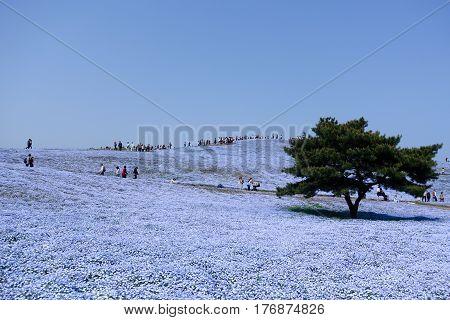 Nemophila (flower) field in full bloom at Hitachi seaside park in Ibaraki, Japan with copy space