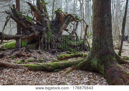 Broken spruce tree roots partly declined next to another one, Bialowieza Forest, Poland, Europe