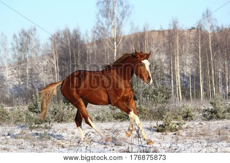 Beautiful chestnut horse galloping free in winter