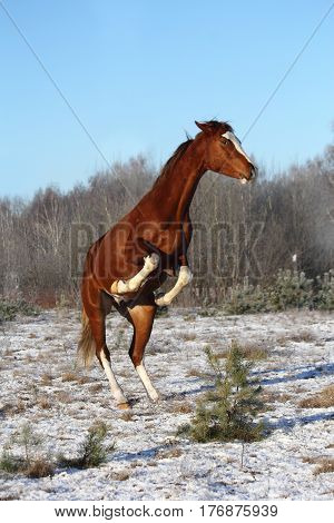 Chestnut horse rearing up in winter at the field
