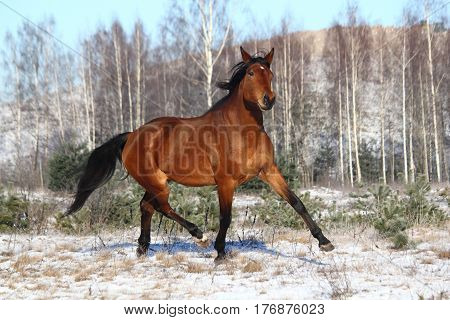 Brown horse trotting free in winter at the field