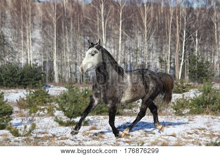 Gray Wild Horse Trotting Free