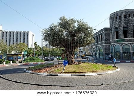 TIBERIAS ISRAEL - FEBRUARY 26 2017: Olive tree in the circle in the city of Tiberias 520 years old