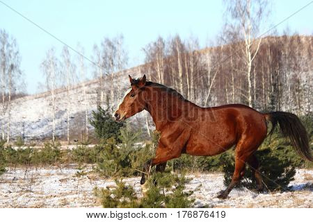 Beautiful Bay Horse Galloping Free