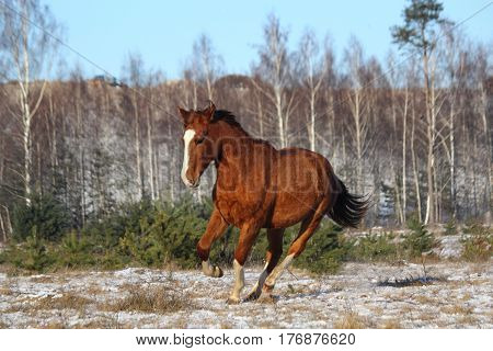 Chestnut colt galloping free in winter at the field