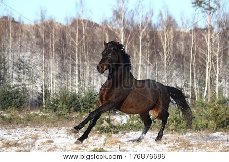 Black beautiful holsteiner horse galloping free in the field