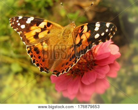 Painted lady butterfly (Vanessa cardui) drinking nectar on a pink zinnia flower