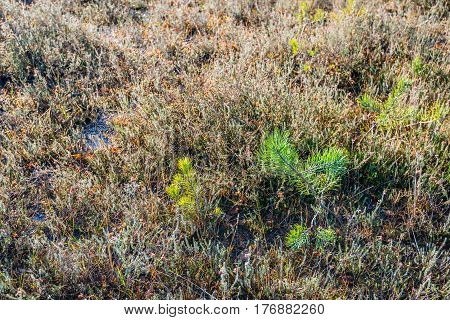 Young scots pine trees between withered heath plants in a Dutch nature reserve in the autumn season.