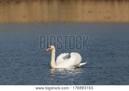 Side View Portrait Of Natural Mating Mute Swan (cygnus Olor)