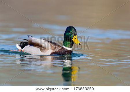 One Natural Male Mallard Duck (anas Platyrhynchos) Swimming