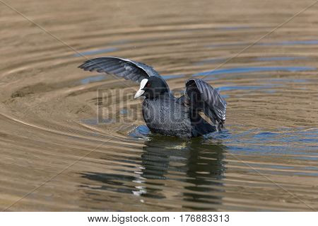 Portrait Of Black Coot (fulica Atra) In Water With Open Wings