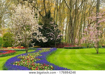 Colourful Blooming cherry trees and spring flowers flowerbeds in an Spring Formal Garden