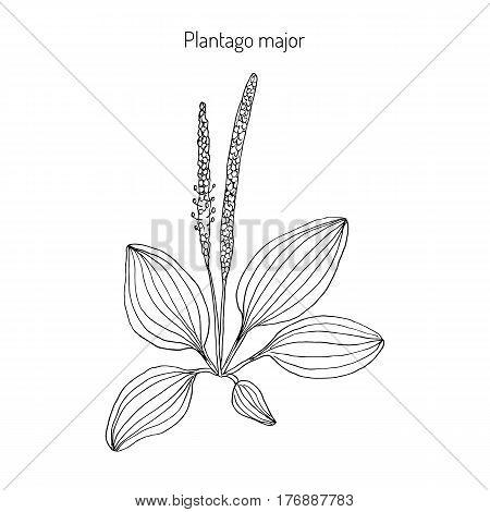 Great plantain. Plantago major - medicinal plant. Hand drawn botanical vector illustration poster