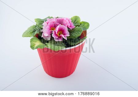 Wonderful primula flower with rose petals and green leaves in red plastic pot isolated on white