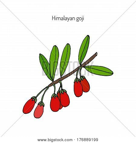 Goji berry Lycium barbarum or Chinese wolfberry, Chinese boxthorn, Himalayan goji, Tibetan goji, mede berry, barbary matrimony vine, Duke of Argyll s tea tree, Murali, matrimony vine. Vector