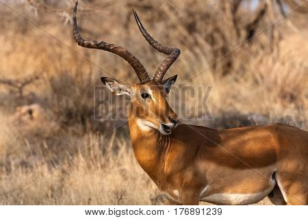 Portrait of impala male. Samburu, Kenya. Africa