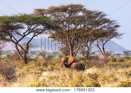 Savanna with wild elephants. Savanna of Kenya, Africa