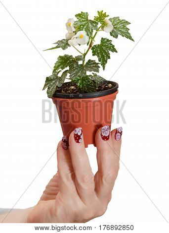 female hand with manicure holds a flower in a pot