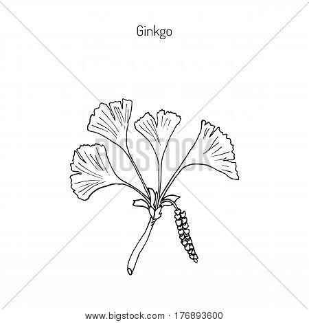 Ginkgo biloba, ginkgo or maidenhair tree. Medicinal plant. Hand drawn botanical vector illustration