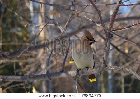 Lonely waxwing bird seating on branch. Central Siberian Botanical Garden Akademgorodok Novosibirsk Russia. March 2017.