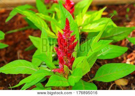 flower plumed cockscomb red or Celosia argentea beautiful in the garden