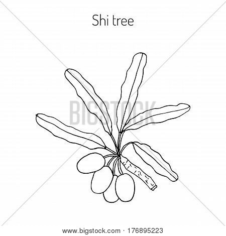 Shea tree, shi tree, or vitellaria paradoxa. Hand drawn botanical vector illustration