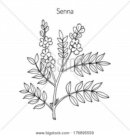 Alexandrian senna senna alexandrina , or Egyptian senna, Tinnevelly senna, East Indian senna - medicinal plant. Hand drawn botanical vector illustration