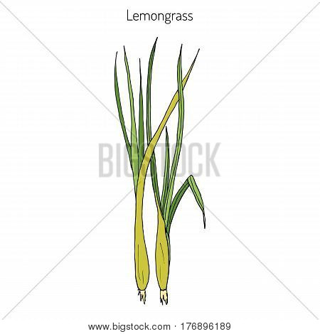Lemongrass cymbopogon , or lemon grass, barbed wire grass, silky heads, citronella grass. Culinary and medicinal herb. Hand drawn botanical vector illustration