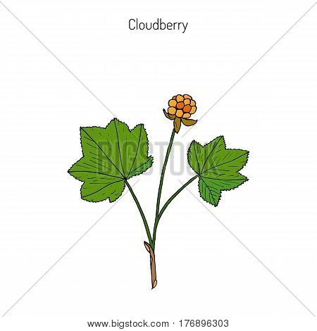 Cloudberry rubus chamaemorus , or bakeapple, knotberry, knoutberry, aqpik, low-bush salmonberry, averin, evron . Hand drawn botanical vector illustration. Wild berries collection