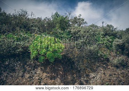 Plants Of Canary Islands On Mountain Top