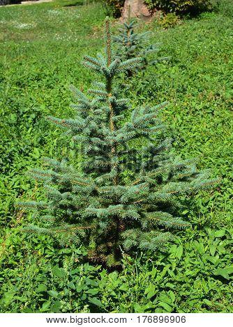 Blue spruce green spruce white spruce Colorado spruce or Colorado blue spruce in garden landscape design.