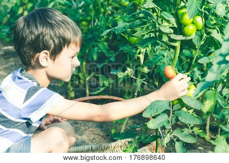 Happy child picking fresh tomatoes vegetables in the garden at sunny day. Family, people, gardening, lifestyle concept