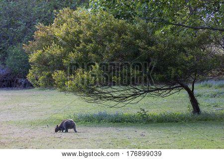 Bennetts wallaby grazing in Tasmanian field under tree