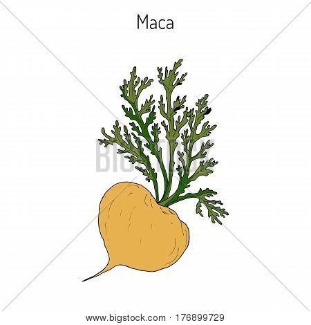Maca Lepidium meyenii peruvian superfood. Hand drawn botanical vector illustration