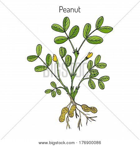 Peanut, or groundnut Arachis hypogaea . Hand drawn botanical vector illustration