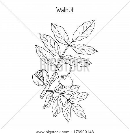 Walnut branch Juglans regia , or Persian walnut, English walnut. Hand drawn botanical vector illustration