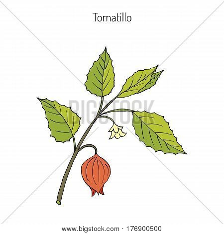 Tomatillo Physalis philadelphica , or husk tomato, Mexican groundcherry, large-flowered tomatillo. Hand drawn botanical vector illustration