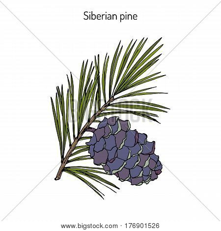 Pinus sibirica, or Siberian pine, branch with cone. Hand drawn botanical vector illustration